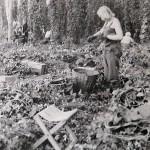 1920-50?: Zemědělství, JZD_7